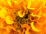 Close Up of A Marigold by BuzzyG