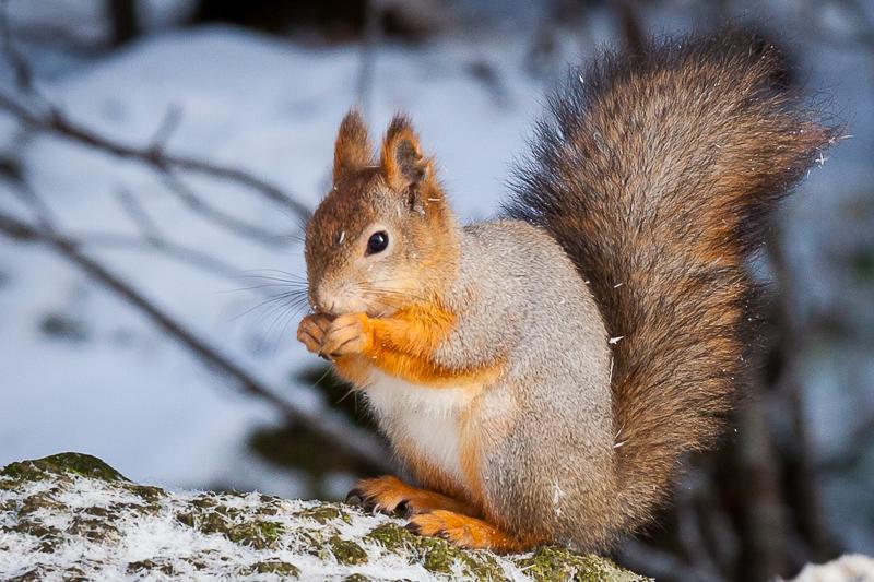Squirrel by JuhaniViitanen