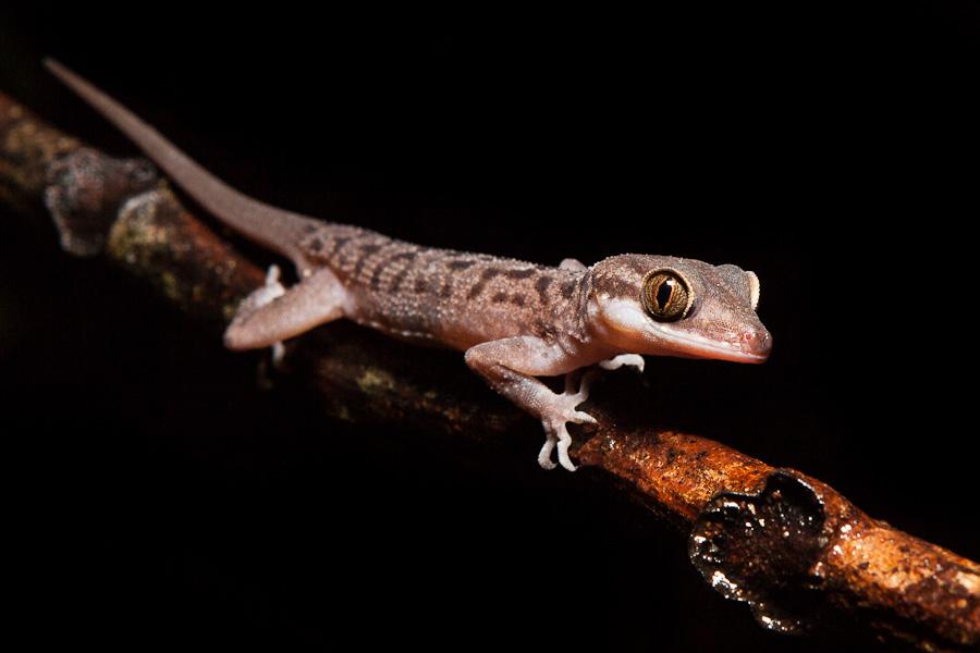 Gecko by JuhaniViitanen
