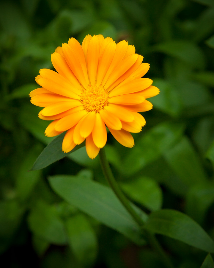 Yellow flower by JuhaniViitanen