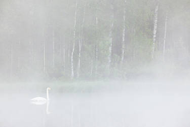 Swan in fog by JuhaniViitanen