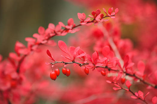 Red barberry