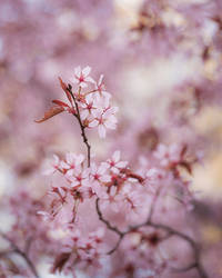 Beautiful flowering cherry tree