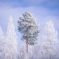 <b>Pine Tree</b><br><i>JuhaniViitanen</i>