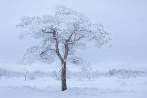 <b>Hoarfrost Pine Tree</b><br><i>JuhaniViitanen</i>