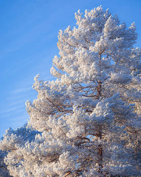 Hoarfrost pine tree