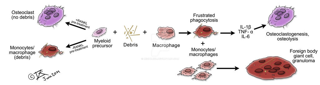 Frustrated Phagocytosis