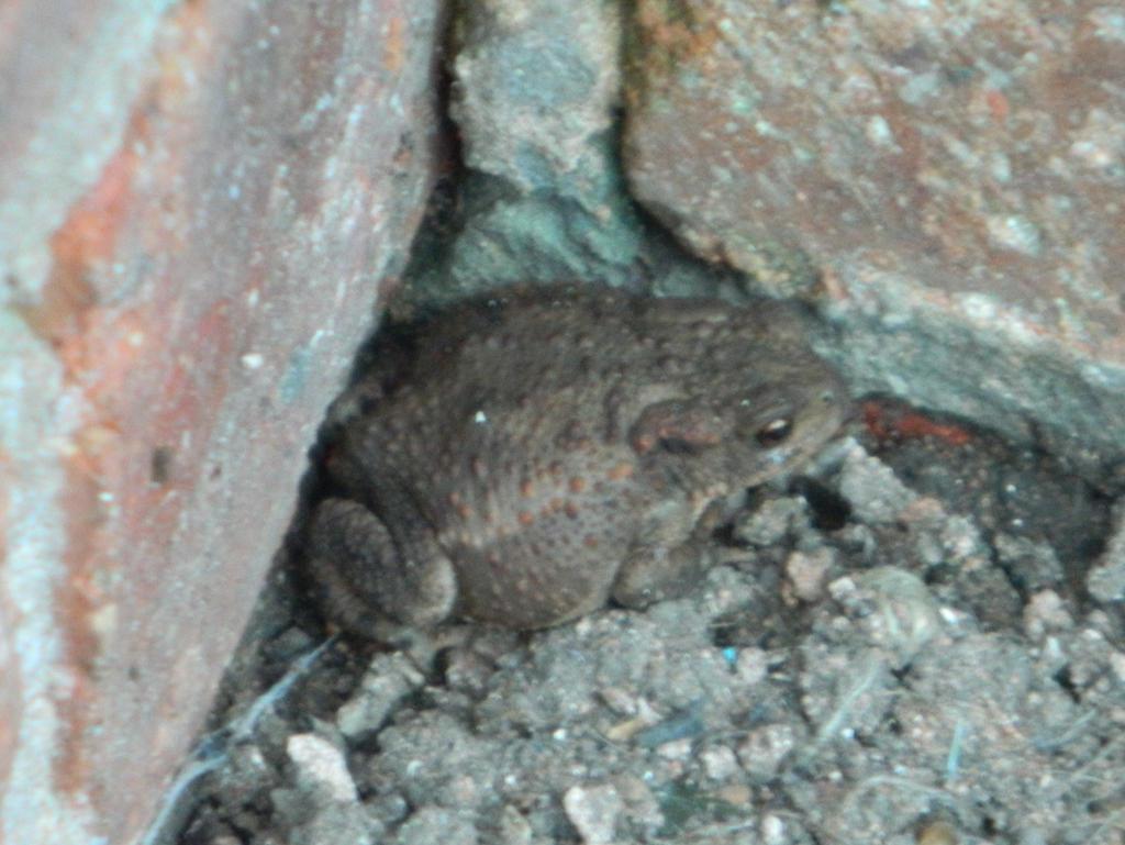 Toad in my garden by GallifreyGirl1