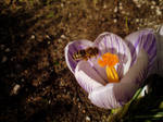 Bees and Crocuses