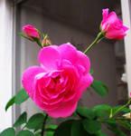 special  rosebush by Mariska1974