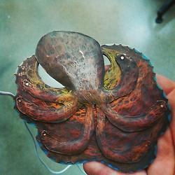 Octopus by juliathegreat