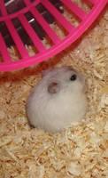 Cute Hamster by Melika1991