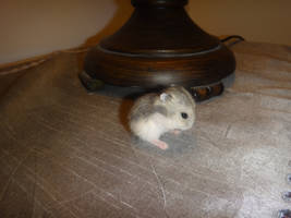 Baby hamster by Melika1991