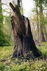 Drzewo by Serais