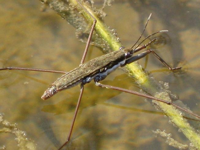 Water Skimmer