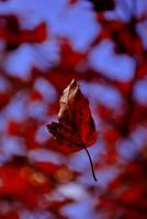 autumn leaf by LastOfThePlagues