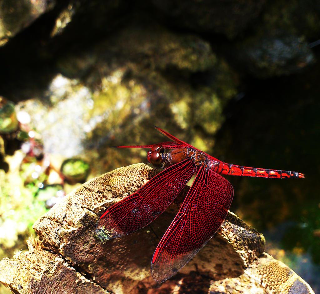 Dragonfly in a Butterfly garden. by jeyk-O