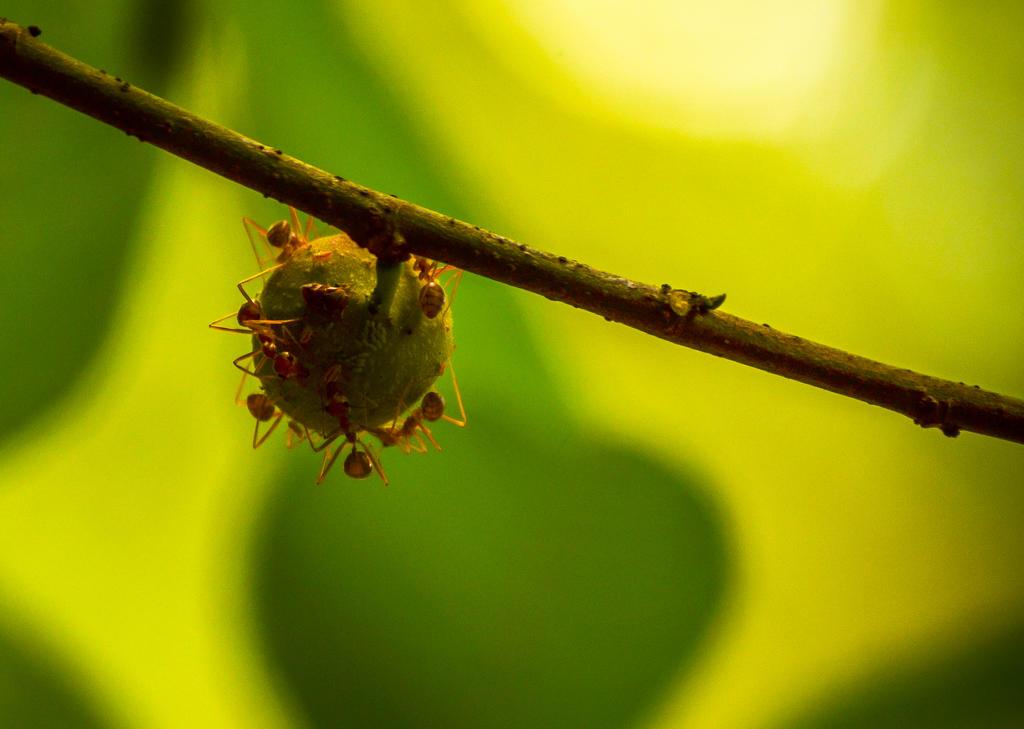 Weaver Ants by jeyk-O