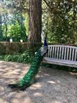 Peacock | Schloss Eggenberg | Graz | Austria