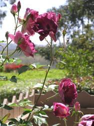 Roses by anjelbritt