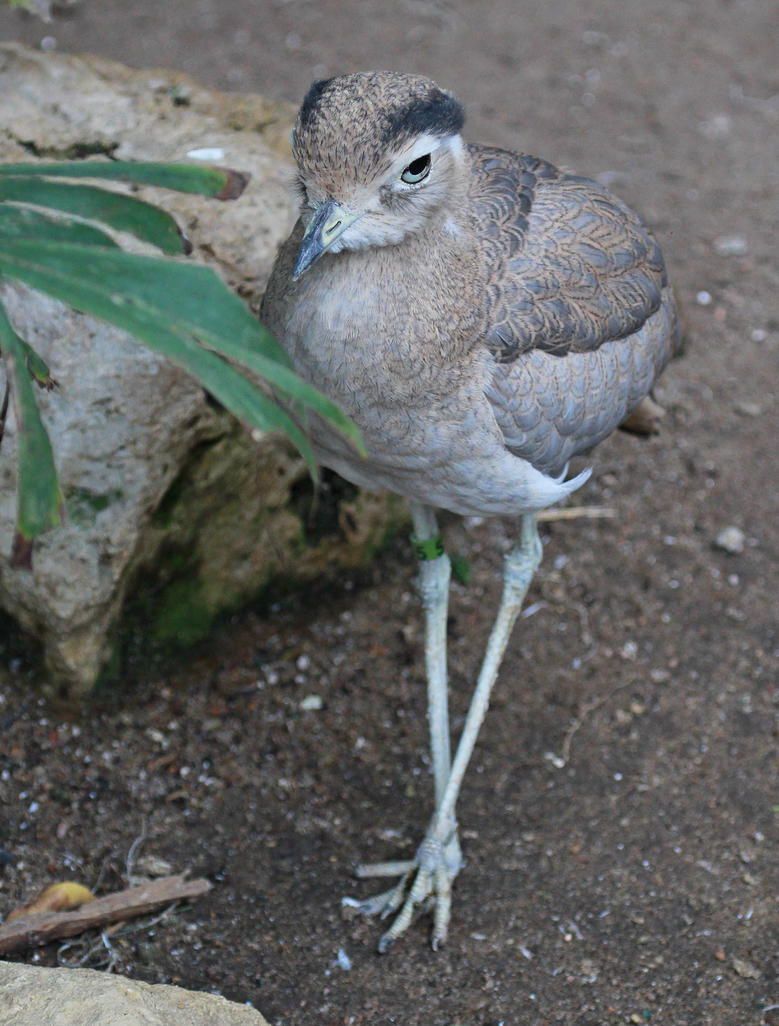 Peruvian Thick-knee by Merhlin