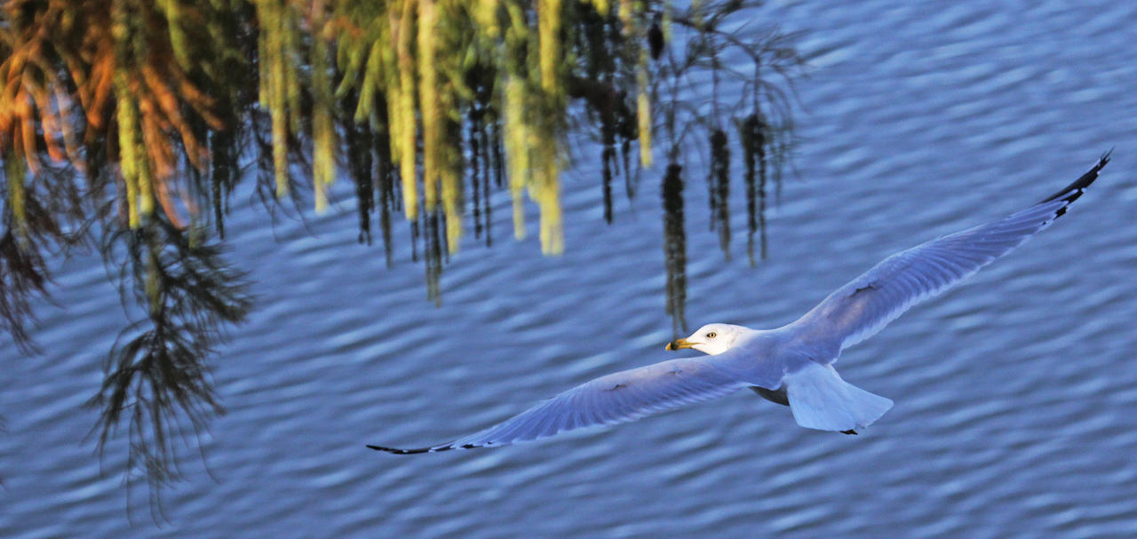 Shadow and Light the Ring-billed Seagull by Merhlin