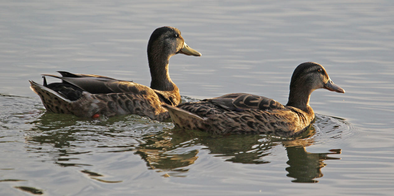 Mallard Ladies Paddle Into the Late Day Sun by Merhlin
