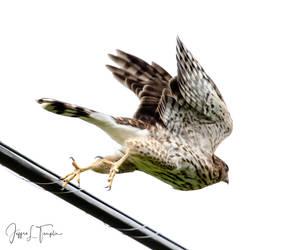 Cooper's Hawk Series 8
