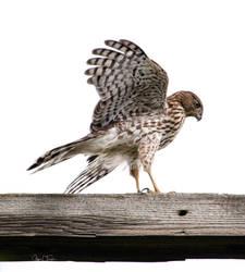 Coopers's Hawk Series 7 by Merhlin