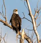 Vampire Eagle