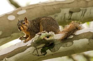 Squirrel In A Sycamore Tree