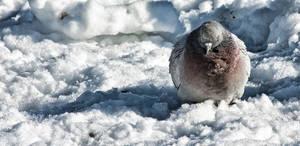 Round Pigeon