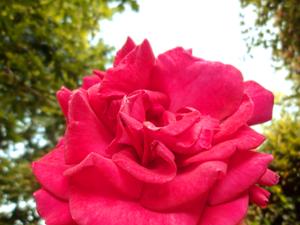 Pink : Rose