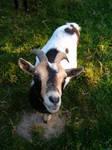 Goat by ilootje