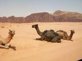 Camel 6 by joanielynn