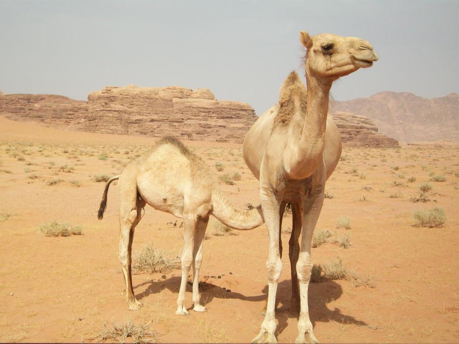 Camel 7 by joanielynn