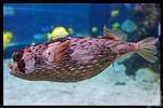 Not a Pufferfish...