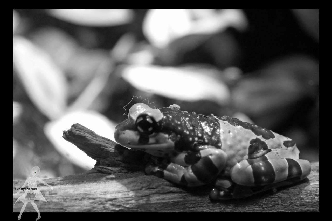 Milk frog 3992