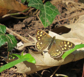 Speckled wood by Helens-Serendipity
