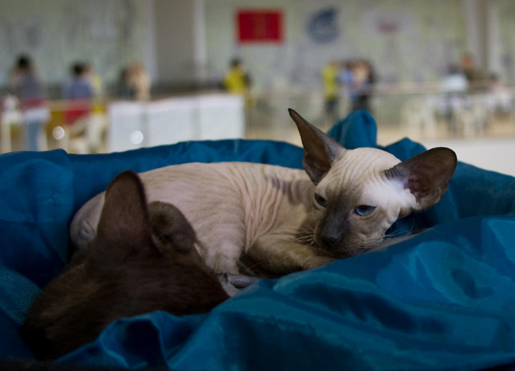Point-colored Peterbald by Yerahatte
