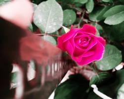 Rose by karimkhani