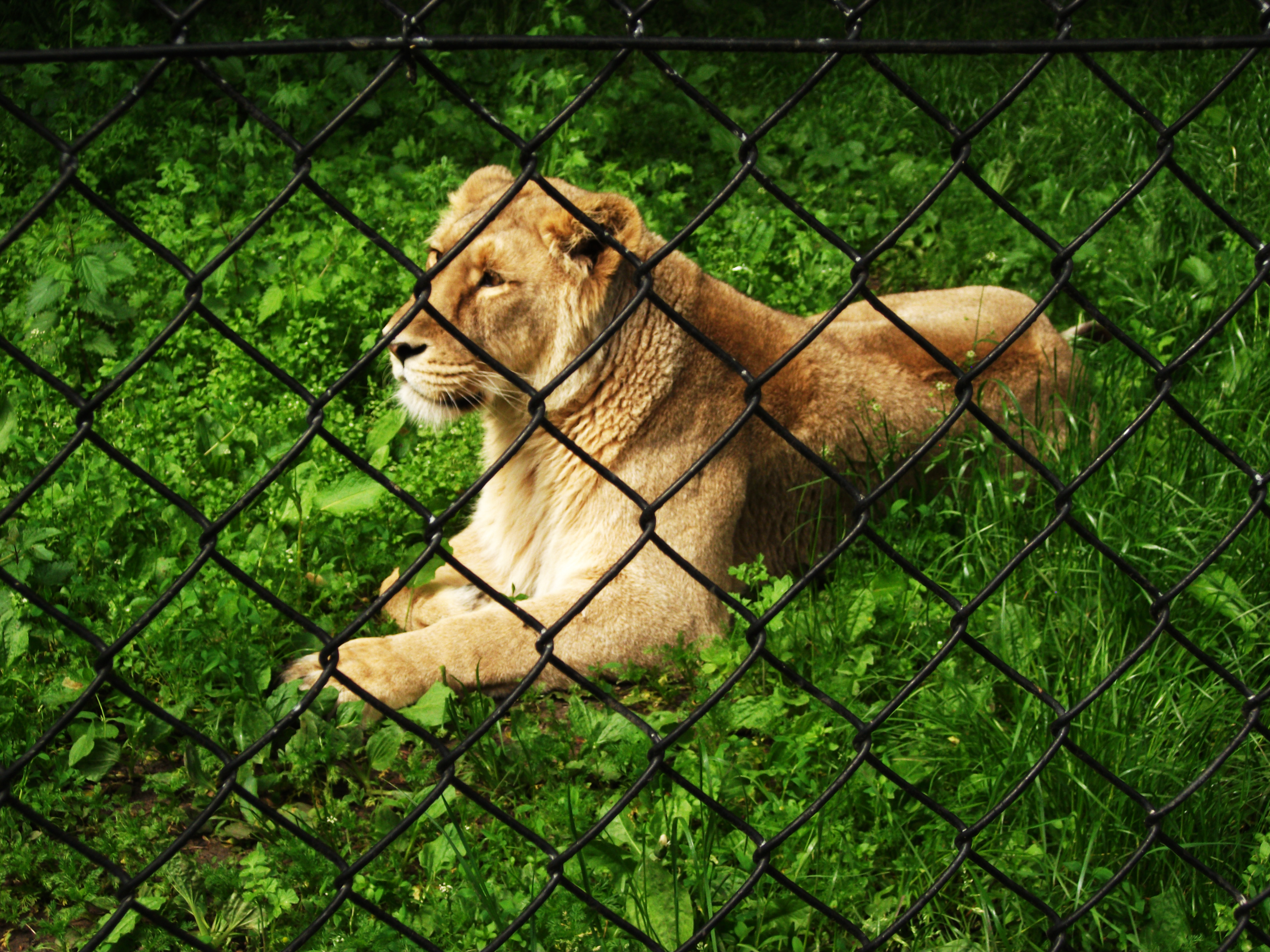 Lioness at the zoo
