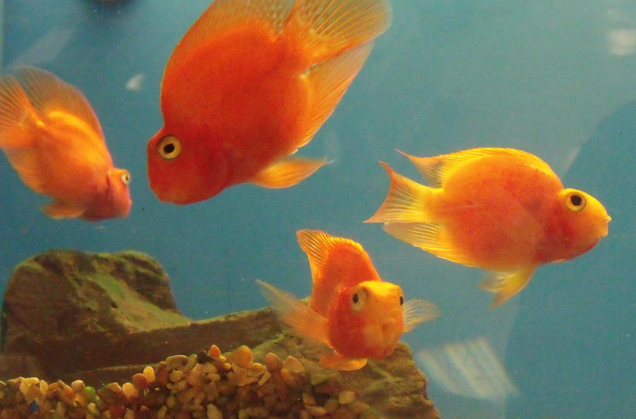 Blood Parrot Cichlid Tank Mates Pictures