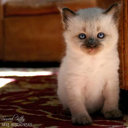 Surreal Kitten by darkcalypso