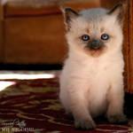 Surreal Kitten