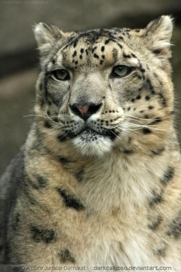 Snow Panther IV by darkcalypso