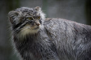 Pallas's Cat II by darkcalypso