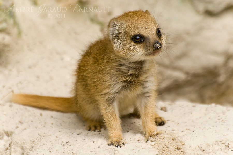 Baby Mongoose by darkcalypso on DeviantArt
