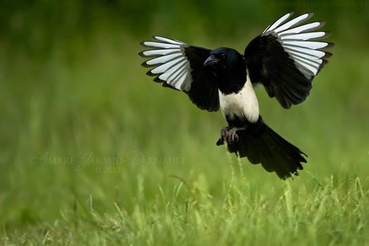Magpie In Flight I