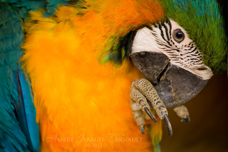 Blue-and-Gold Macaw by darkcalypso
